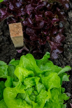 Green and Purple Lettuce on Ground