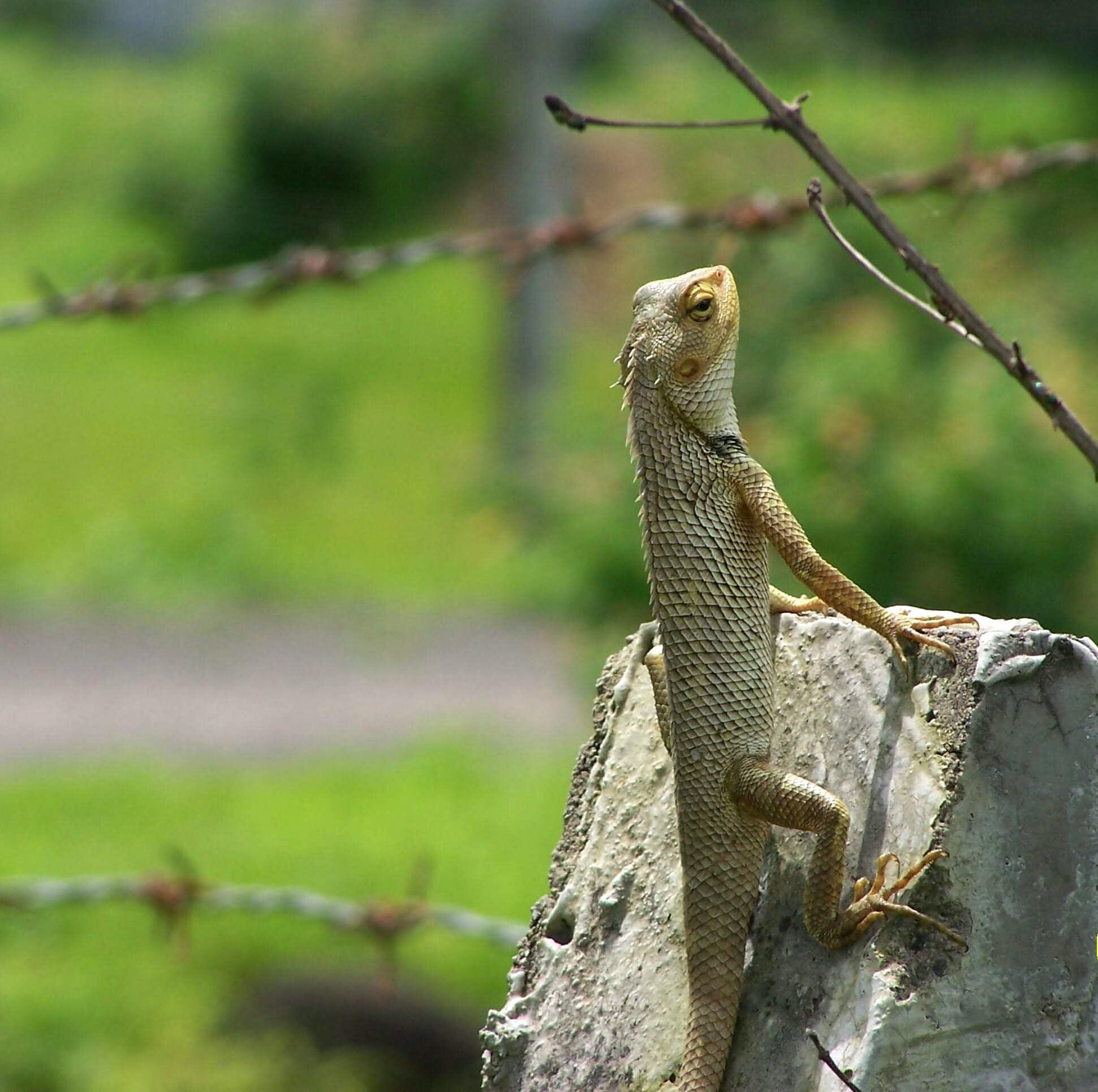 Free stock photo of climb, pride, reptile