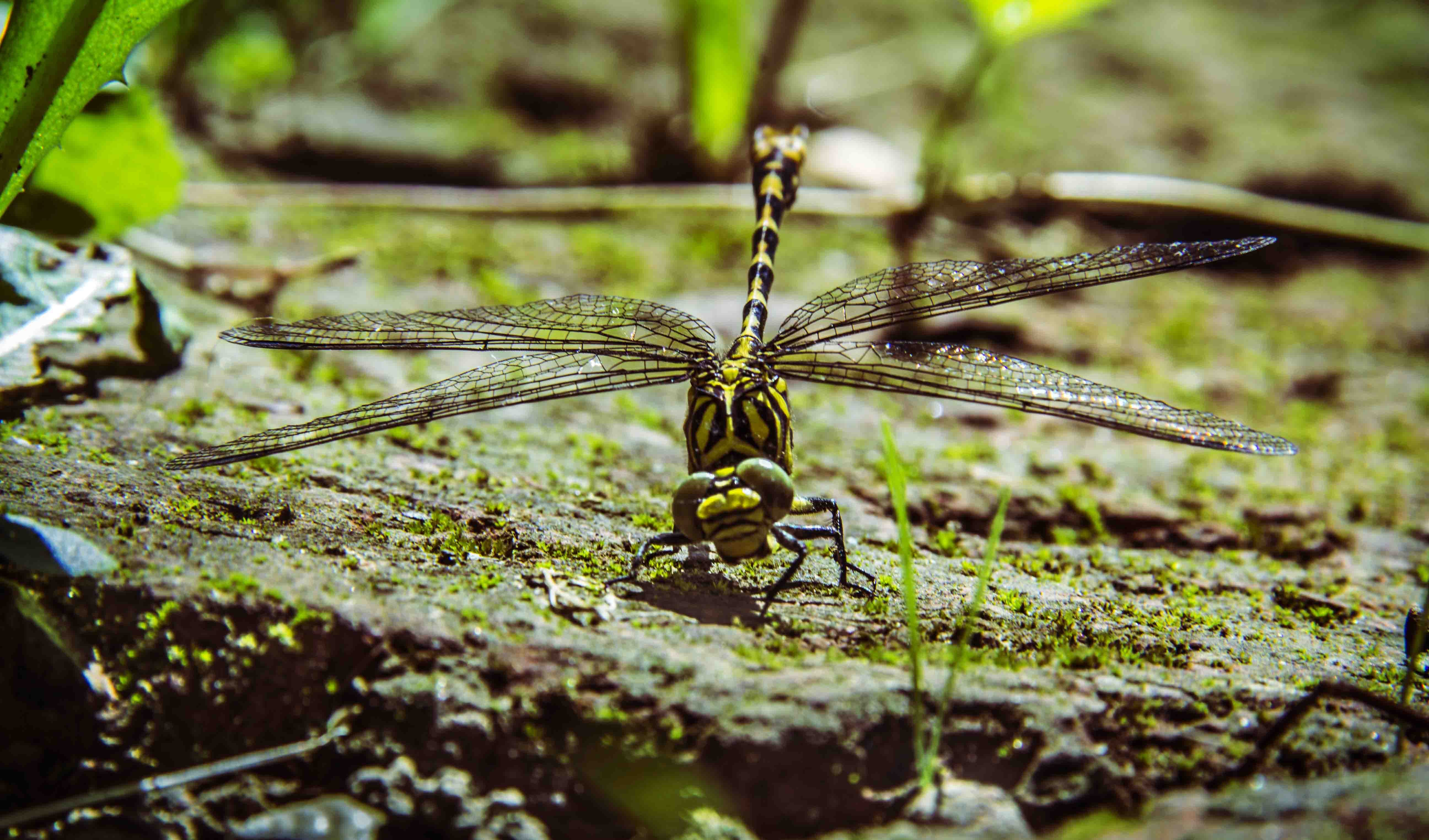 Free stock photo of dragonfly, tiger