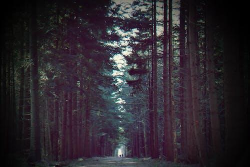 Бесплатное стоковое фото с вечнозеленый, грязная дорога, деревья, дорожка