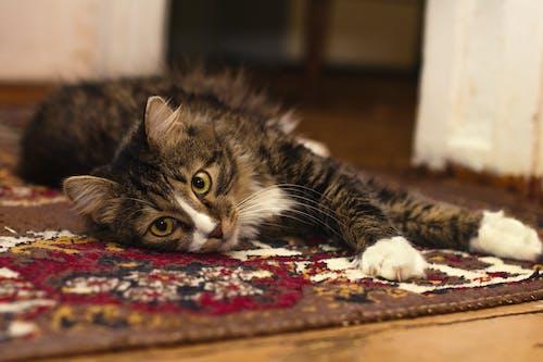 動物, 動物攝影, 可愛, 地毯 的 免费素材照片