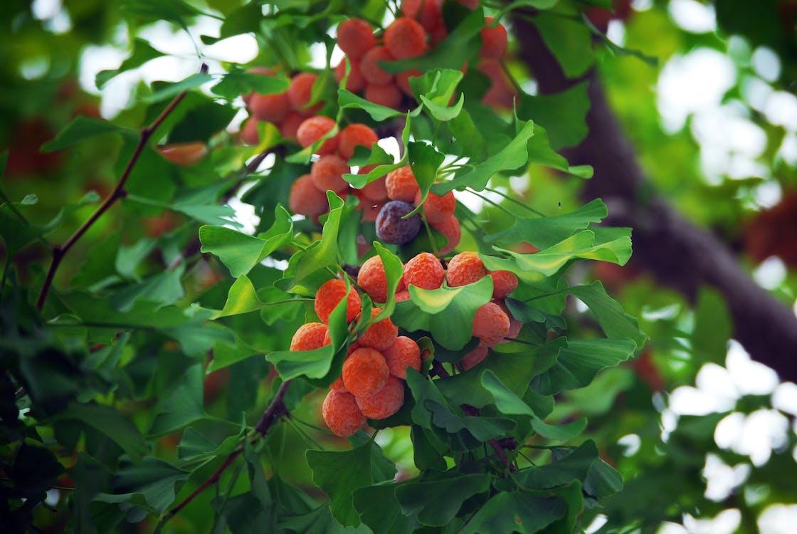 Photos gratuites de fruit, noix de ginkgo