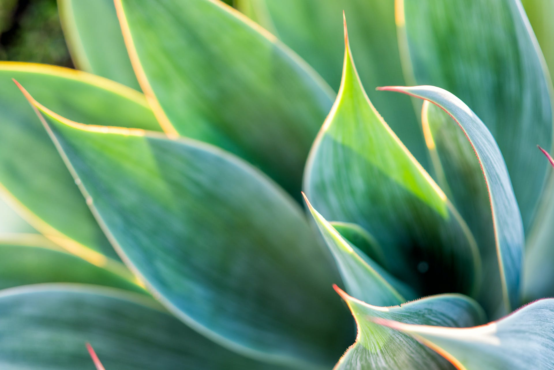 Free stock photo of Agave attenuata, drought plant, foliage, green