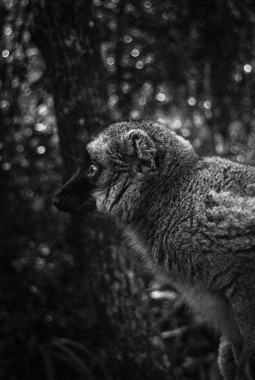 Kostnadsfri bild av lemurer