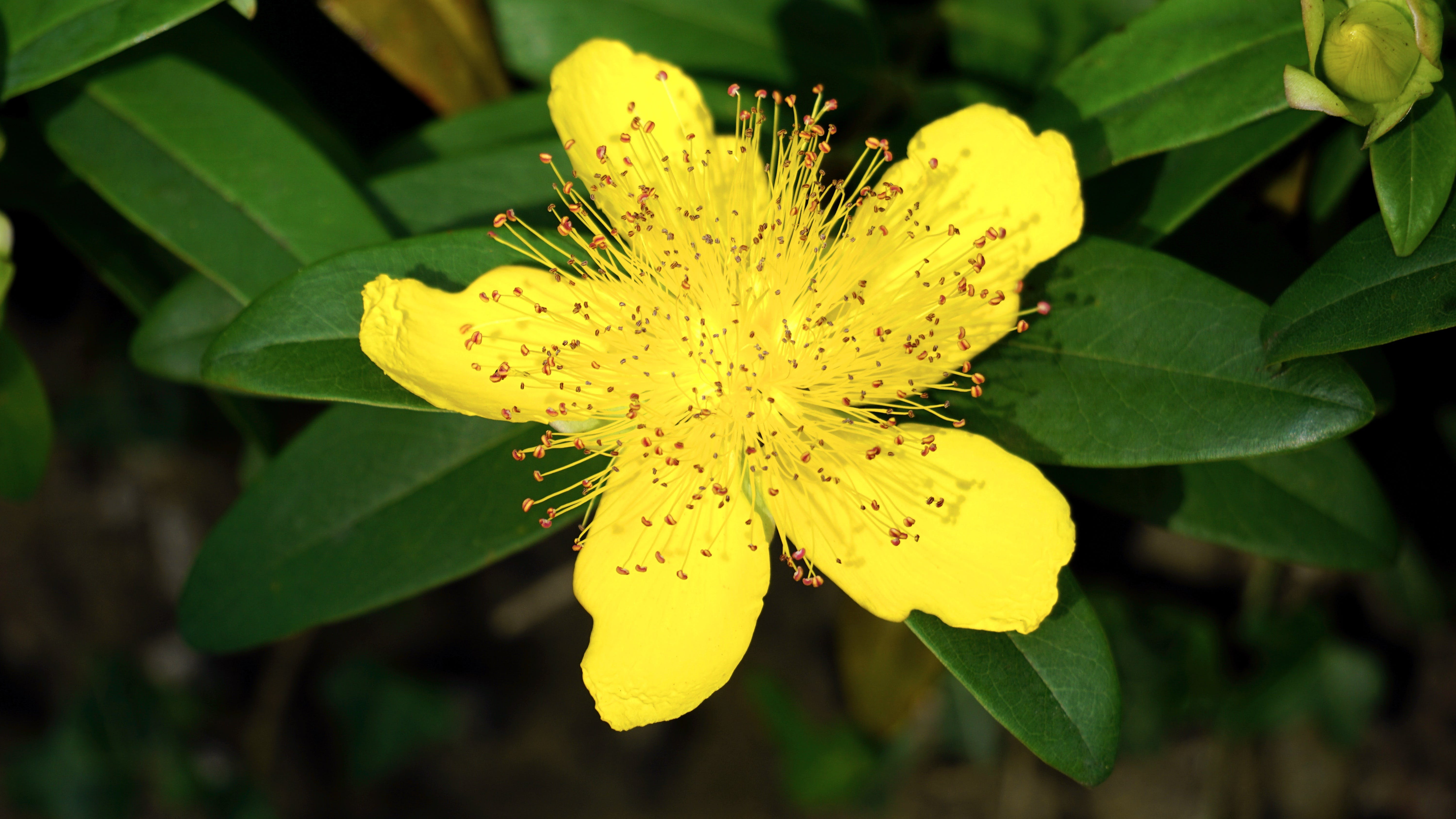 Selective Focus Photography of Yellow St. John Wort Flower