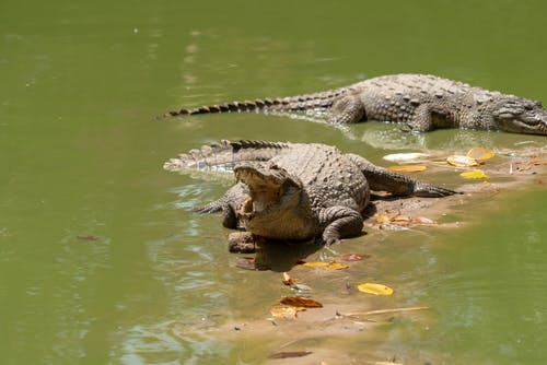 Kostenloses Stock Foto zu afrika, alligator, gambia, grün