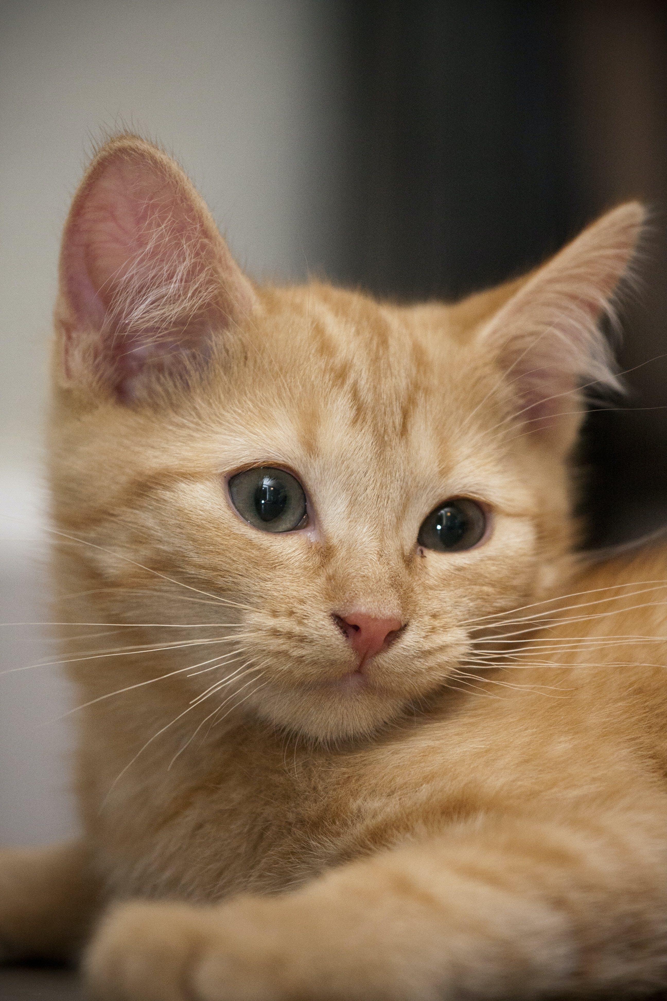 Free stock photo of cat, close up, kitten, orange