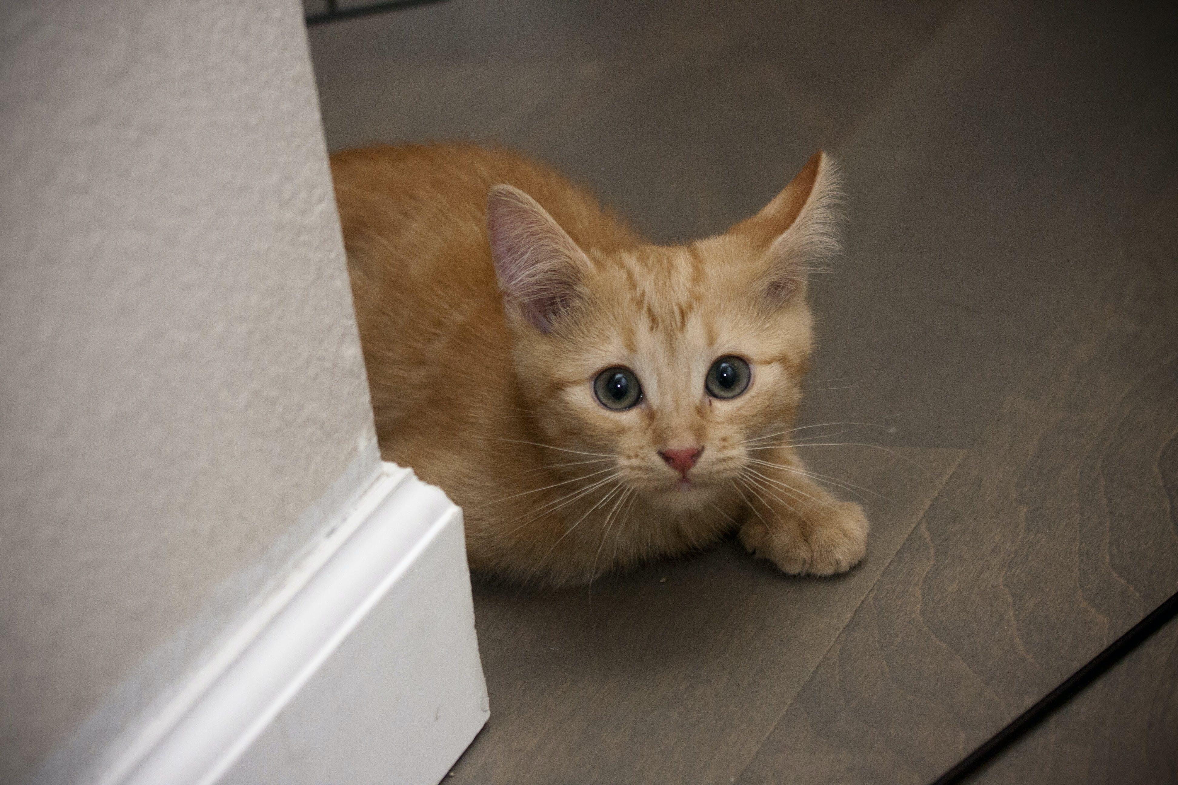 Free stock photo of cat, kitten, orange, shy