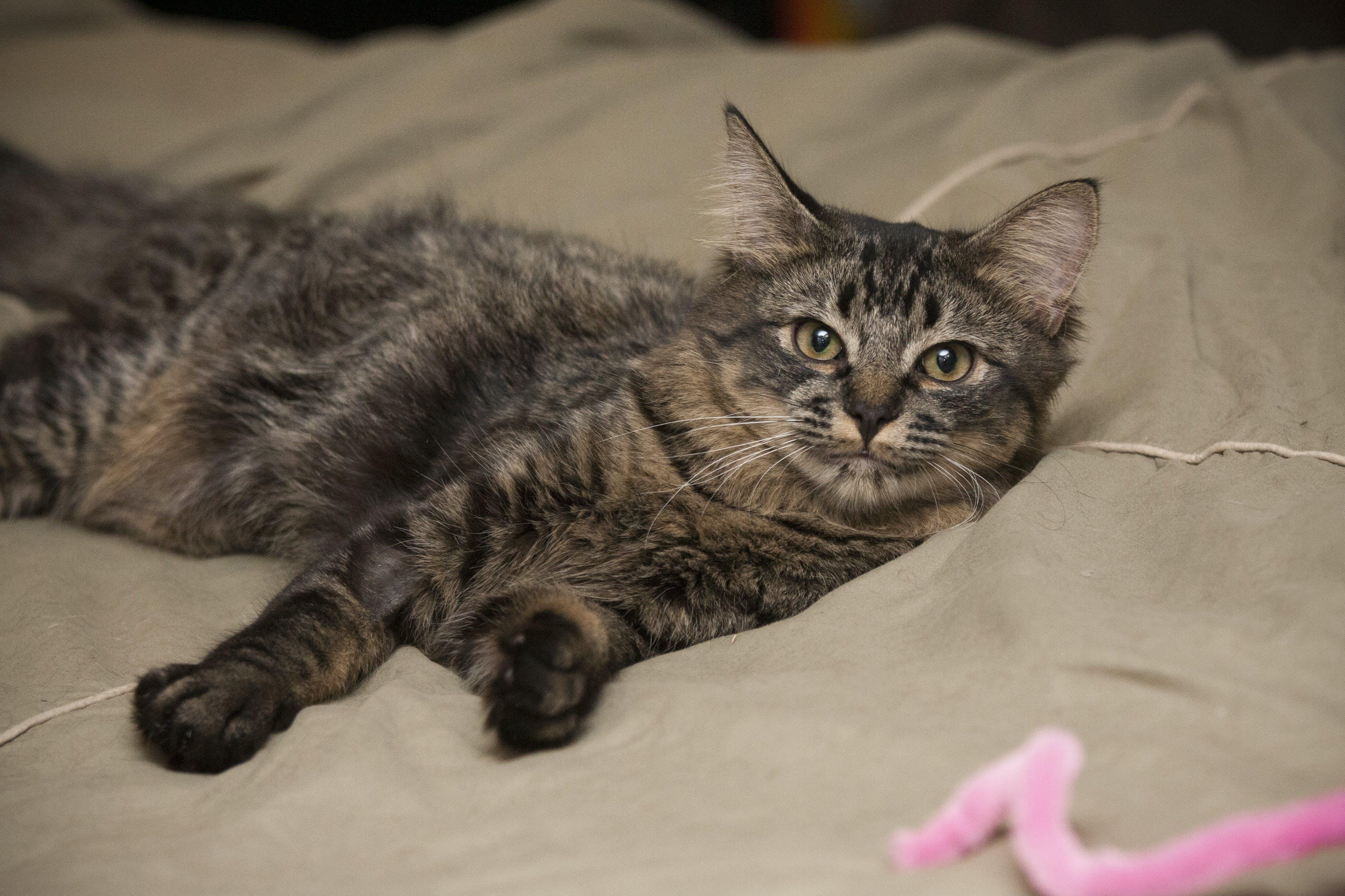 Free stock photo of cat, maine coon, pet portrait