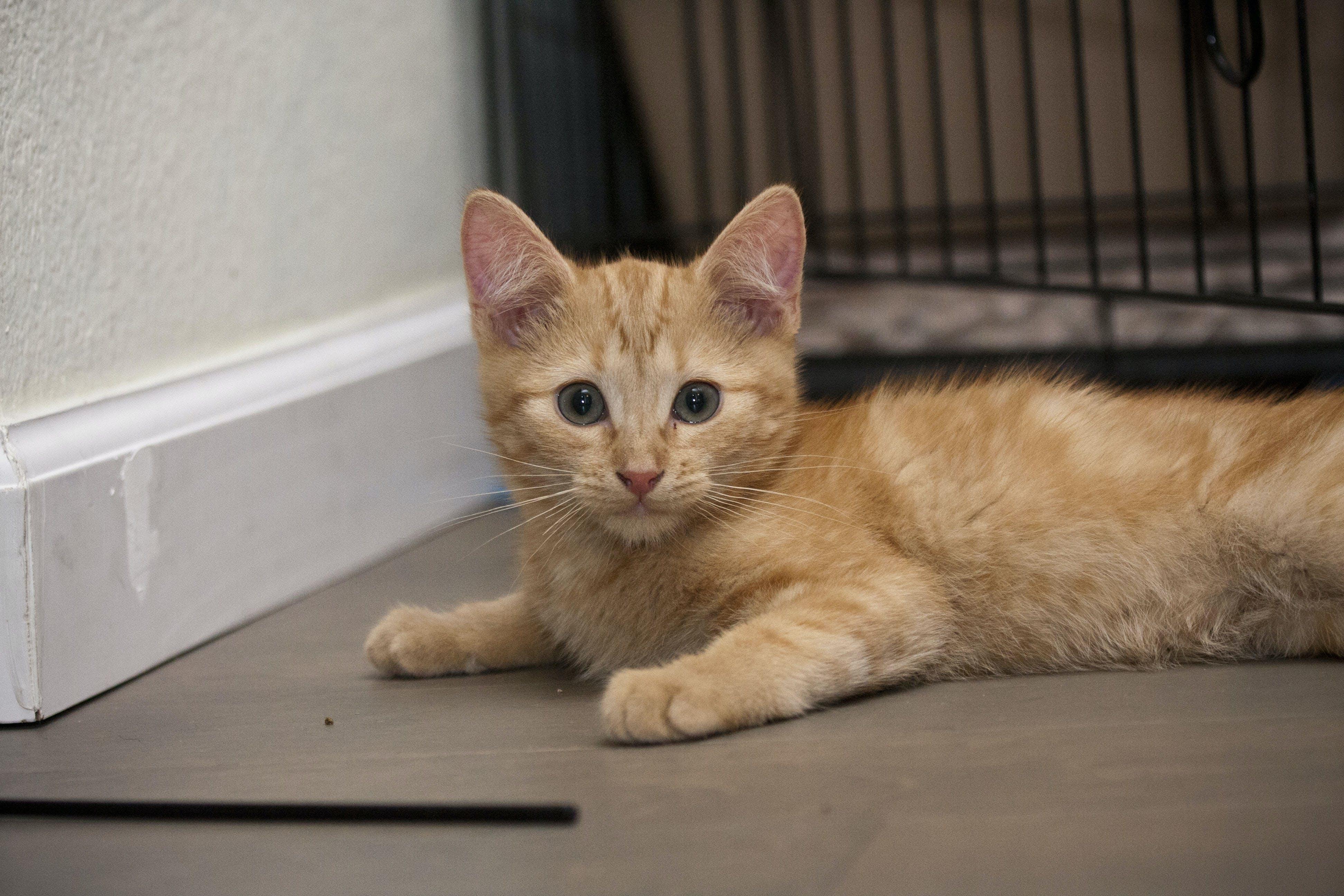 Free stock photo of cat, kitten, orange, tabby