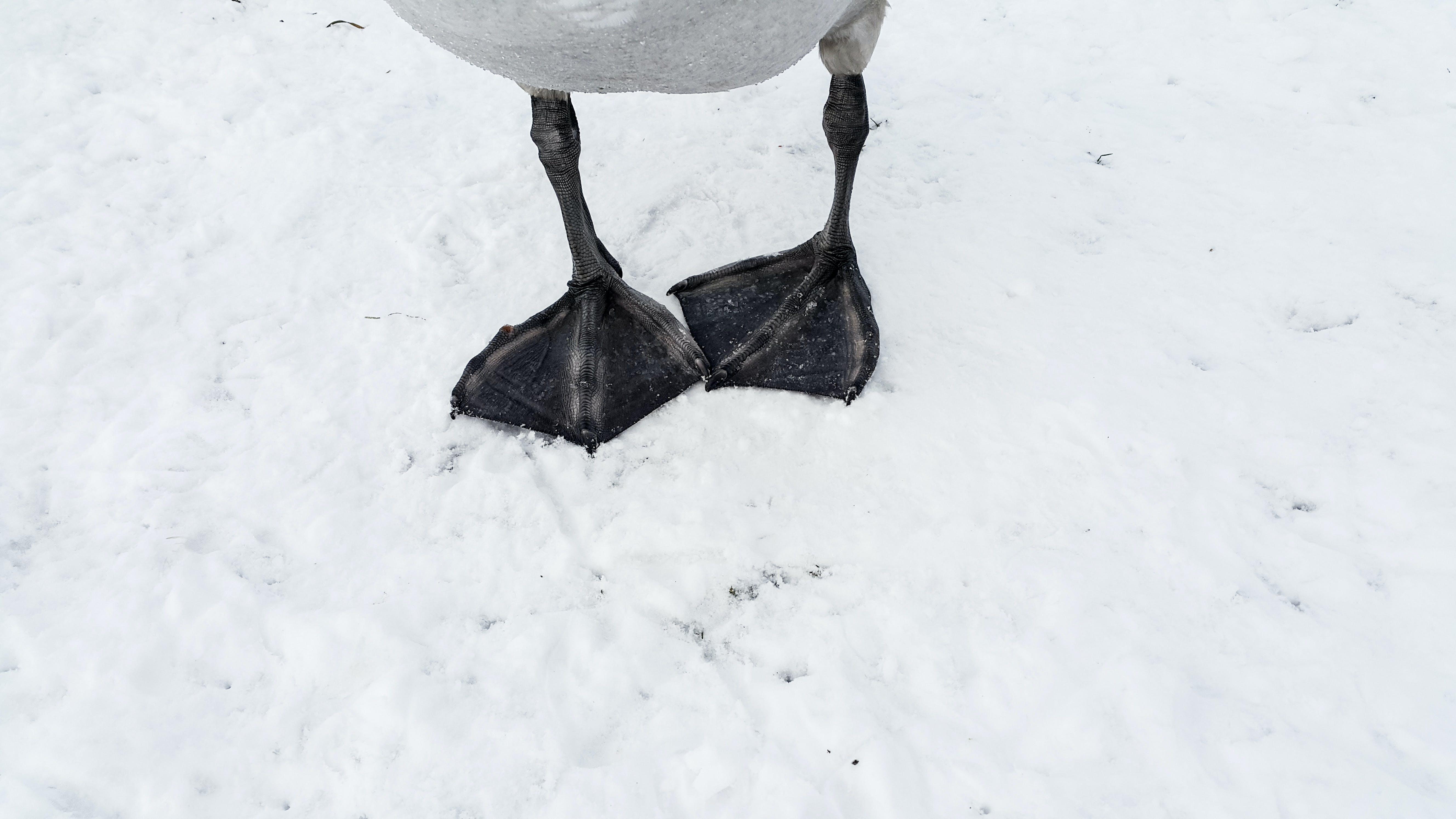 Free stock photo of bird, snow, swan