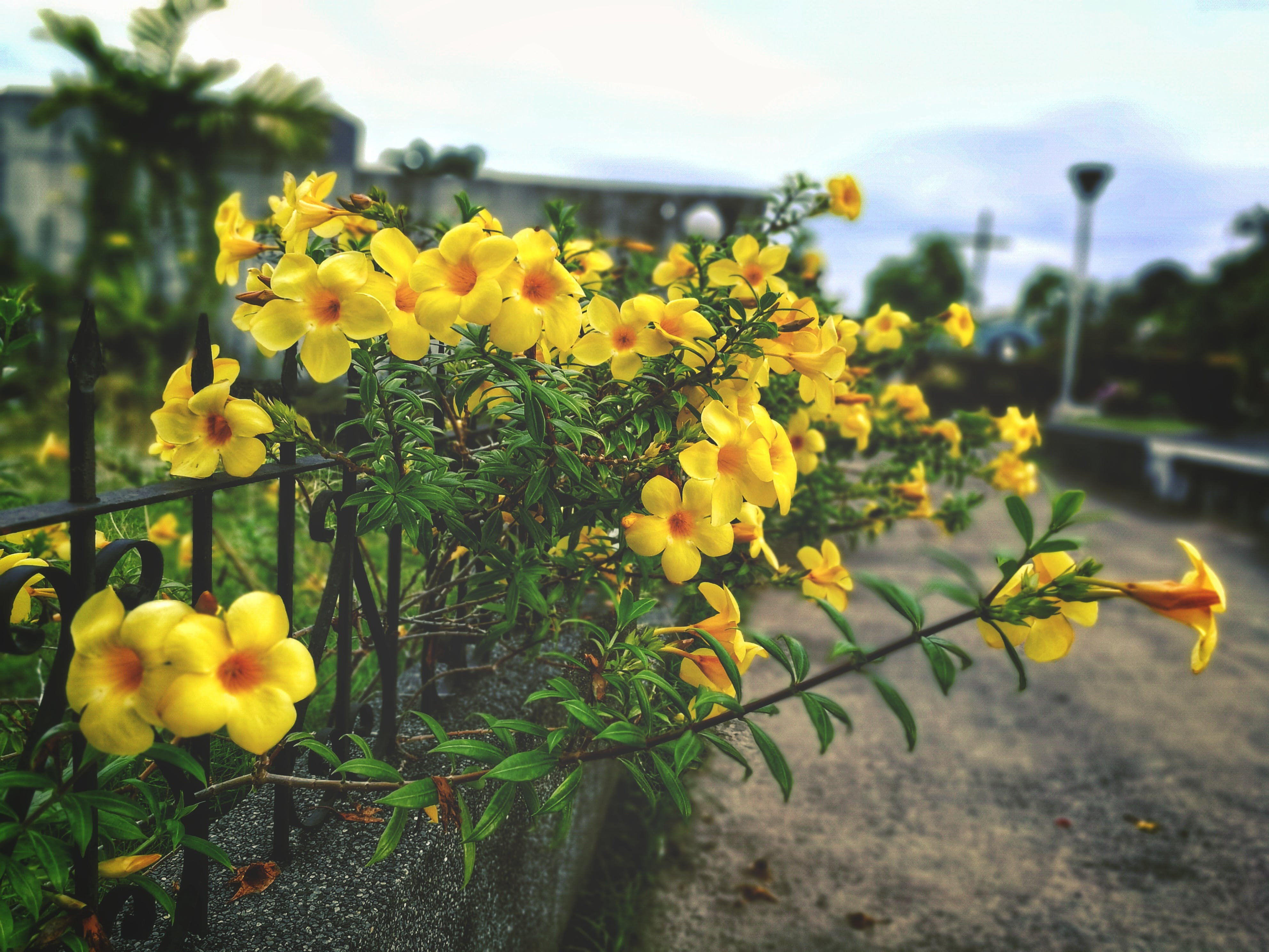 Free stock photo of yellow, yellow flowers, flower garden, beautiful flowers