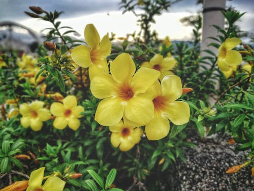 Free stock photo of beautiful flowers, garden, yellow, yellow flower