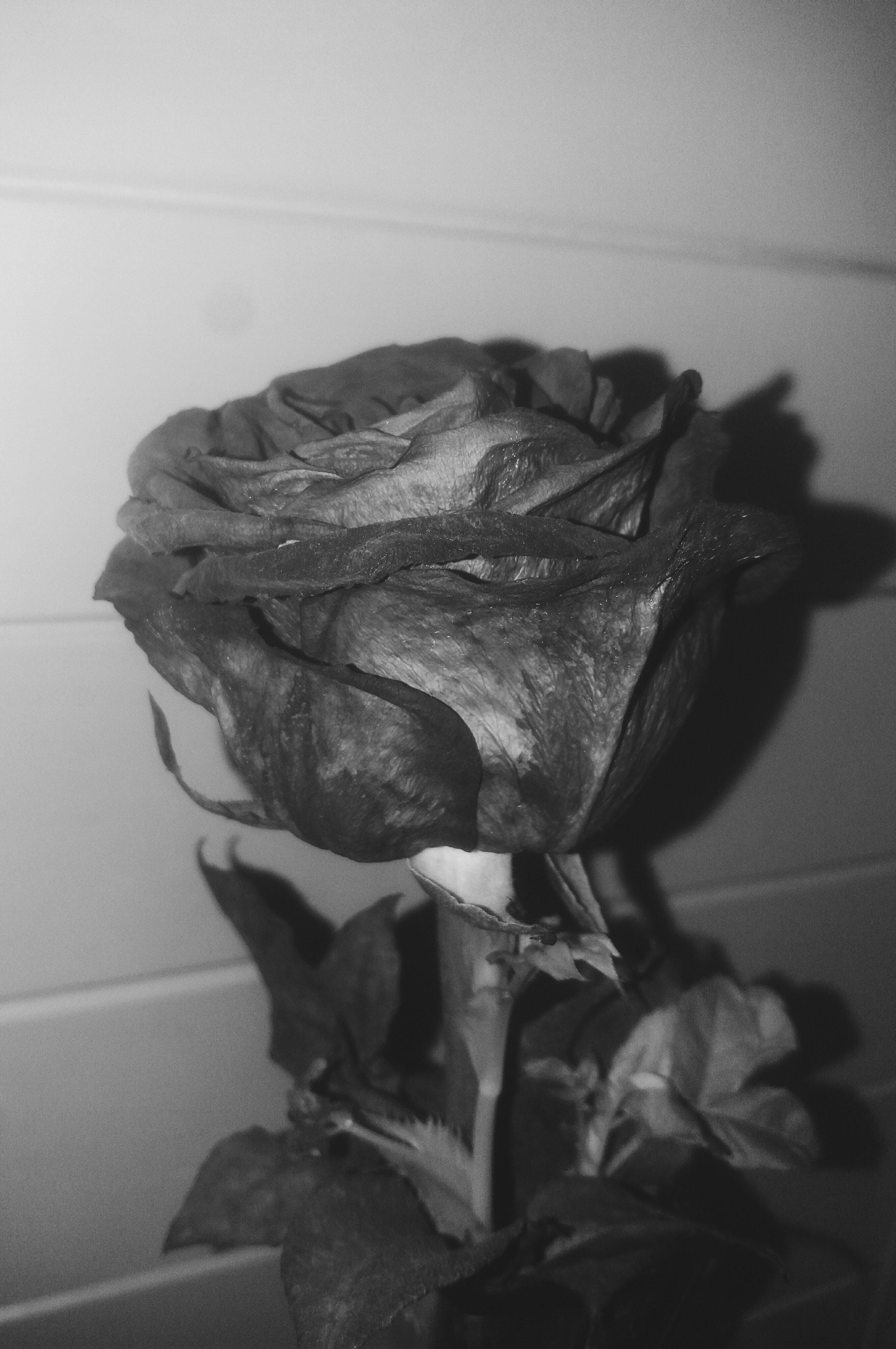 Free stock photo of black, #blackandwhite, #rose, #white