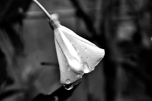 그레이스케일, 꽃, 드레스 플라워, 매달린의 무료 스톡 사진