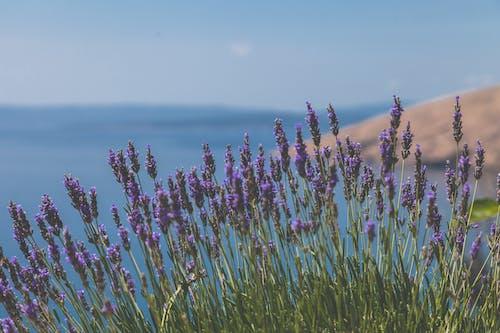 Kostenloses Stock Foto zu aromatherapie, blumen, farbe, feld