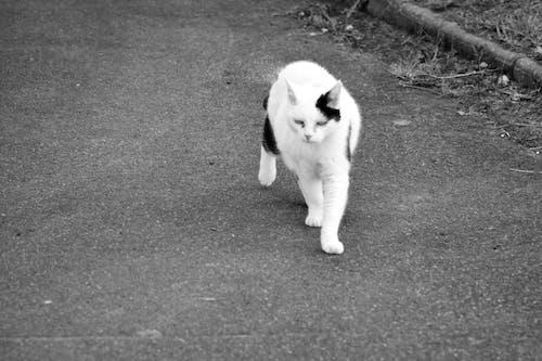 Immagine gratuita di animale di compagnie, animalier, chat, chat noir et blanc