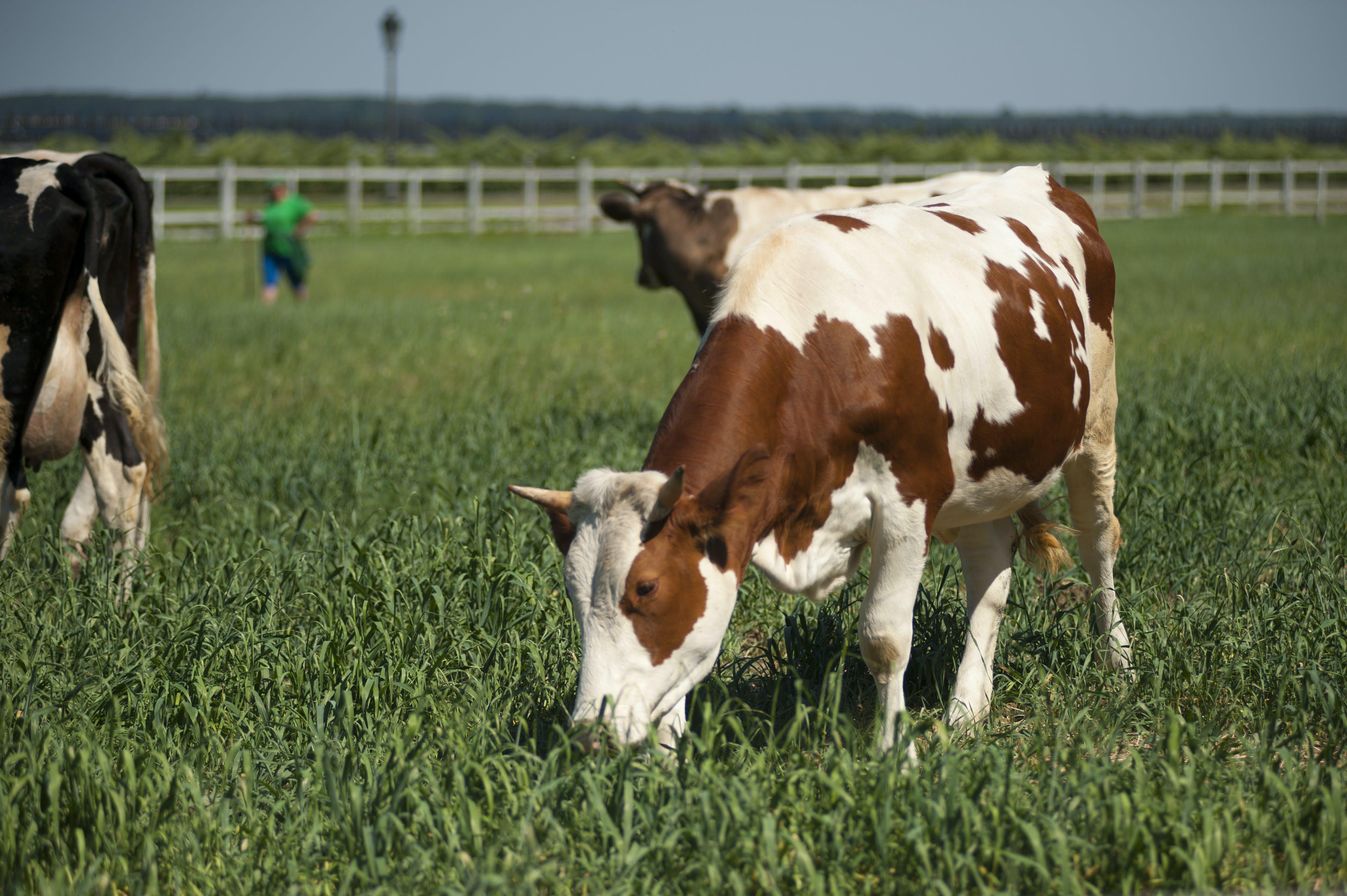Free stock photo of field, animal, farm, grass