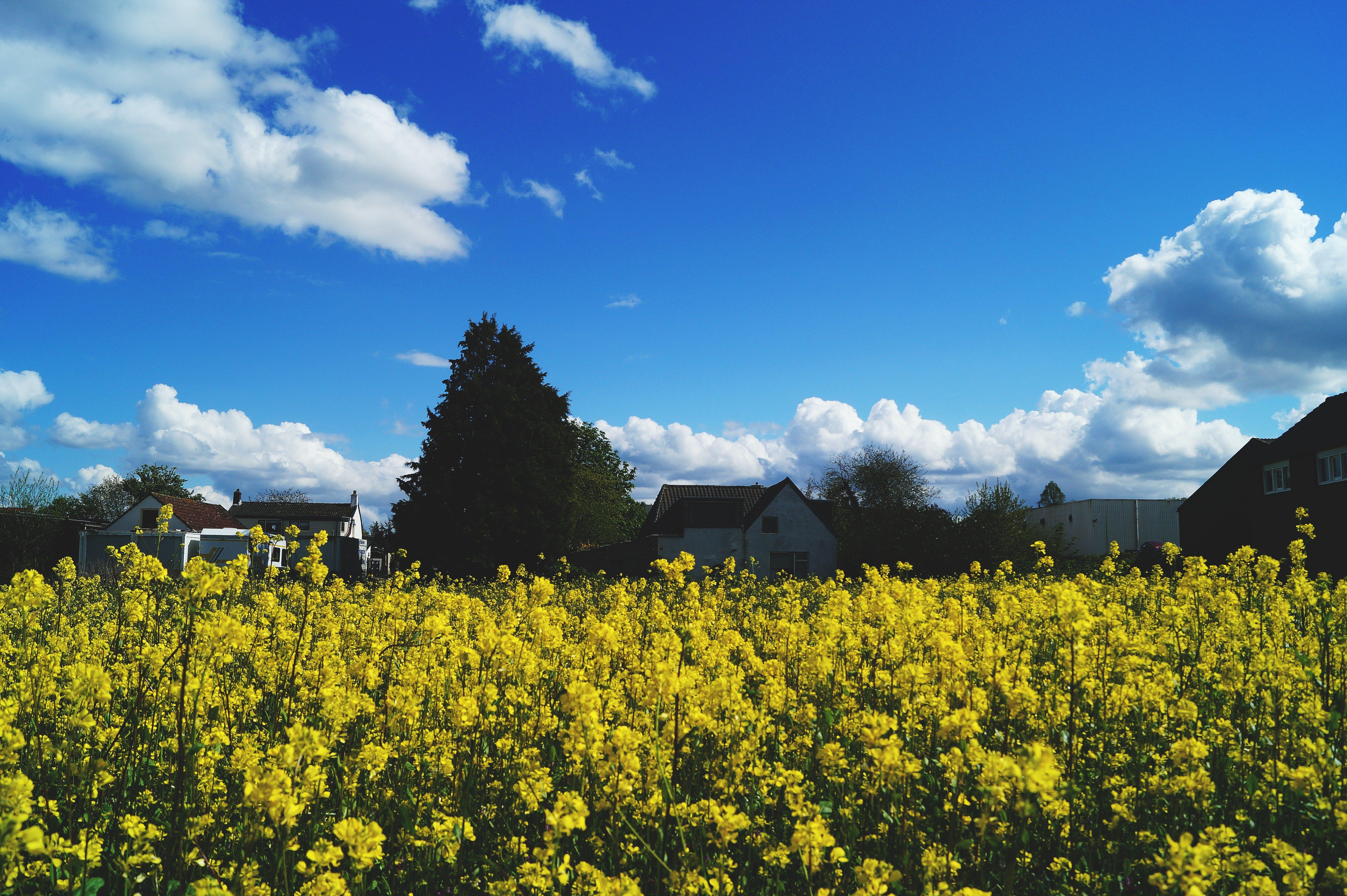 Yellow Rapeseed Flower Field Under Blue Sky