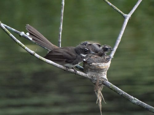 Free stock photo of baby, fantail, nature, nest