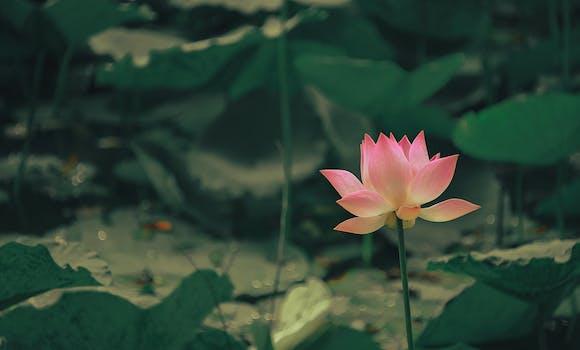1000 beautiful lotus flower photos pexels free stock photos selective focus photography of pink flower mightylinksfo
