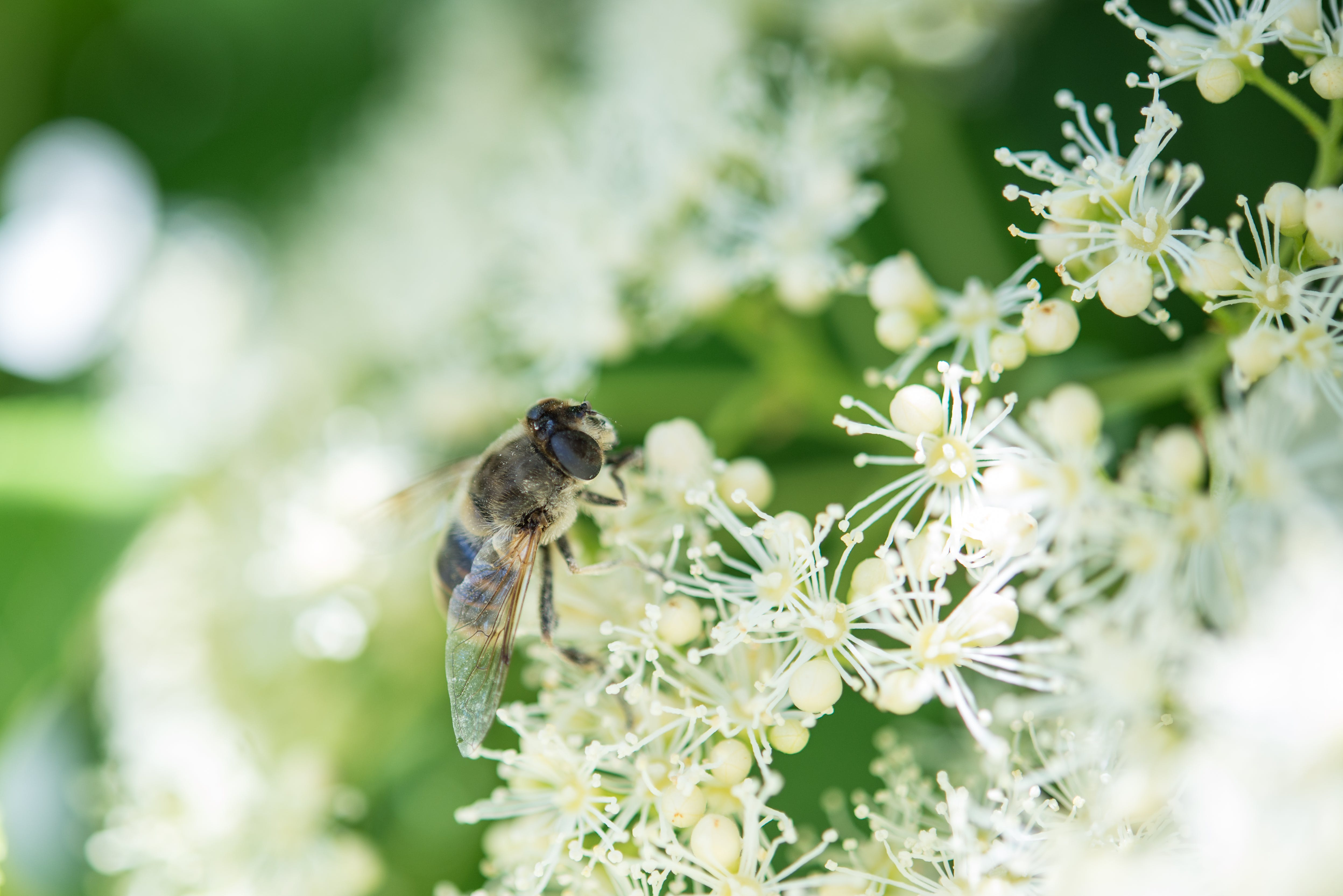 ape, bocciolo, crescita
