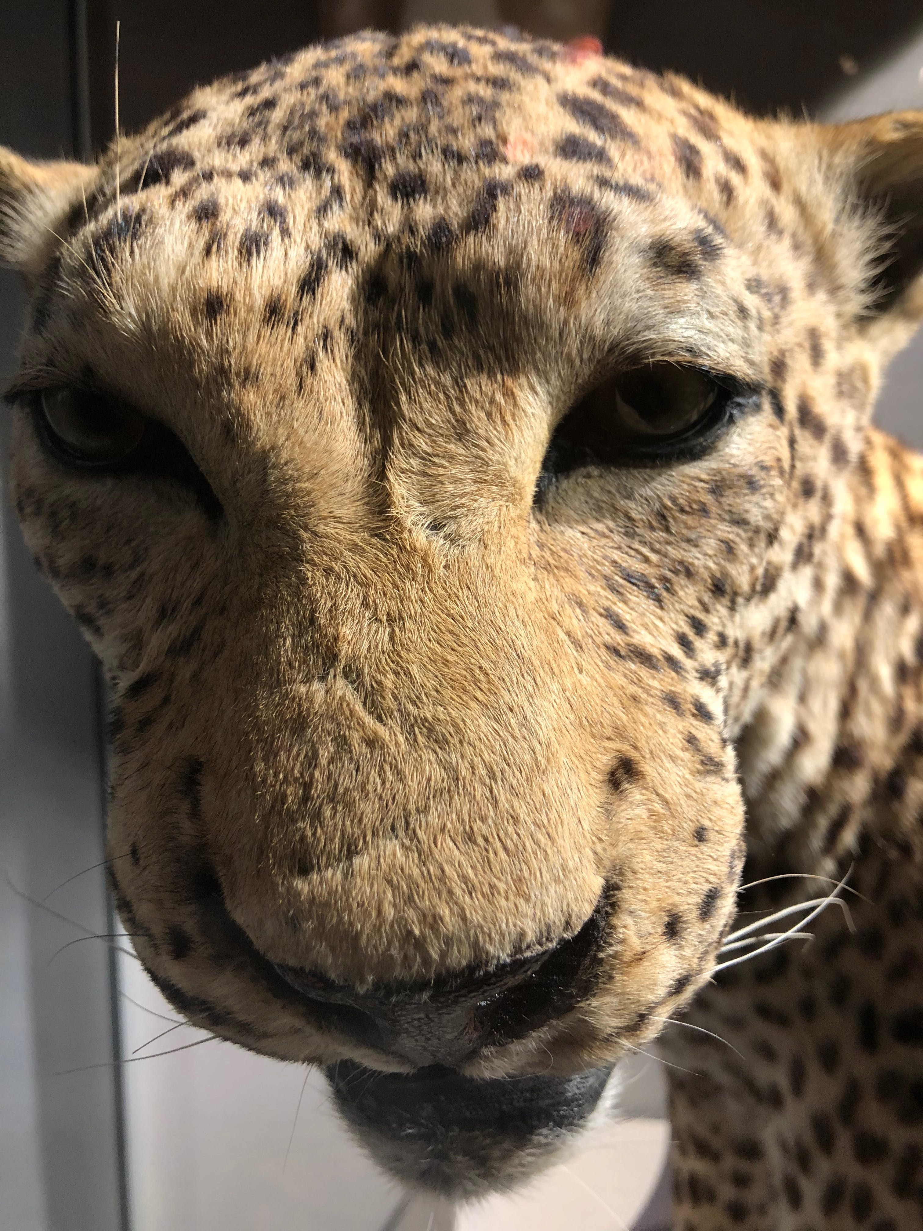 Free stock photo of leopard
