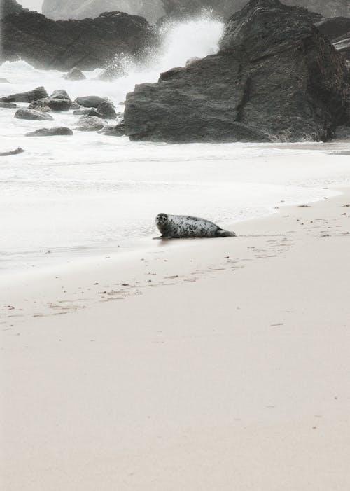Gratis stockfoto met strand, zeehond