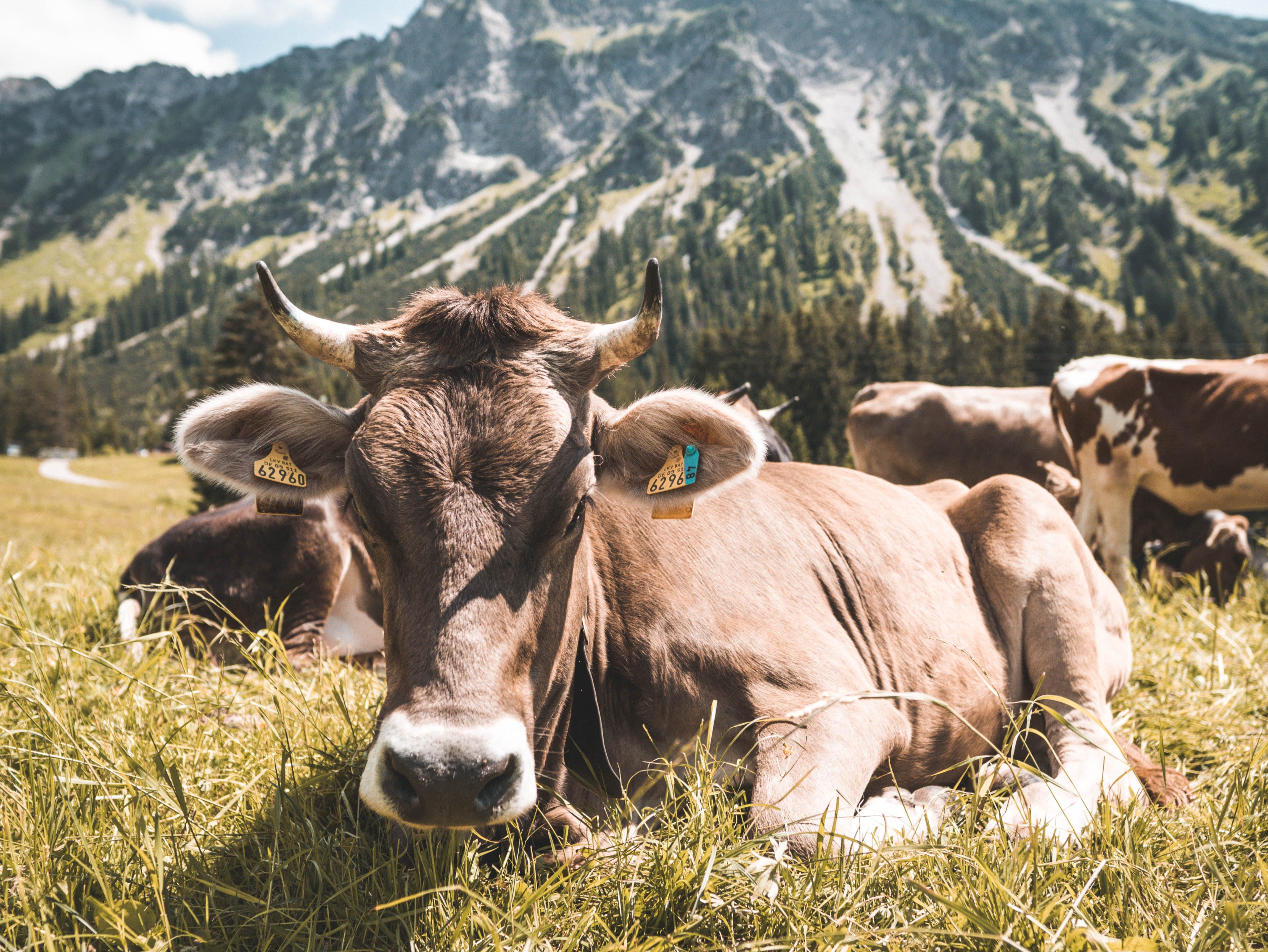 Brown Cattle on Grass at Daytime