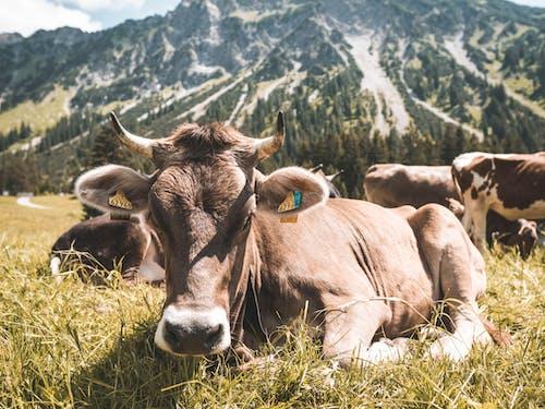 Základová fotografie zdarma na téma denní, farma, hory, hospodářská zvířata
