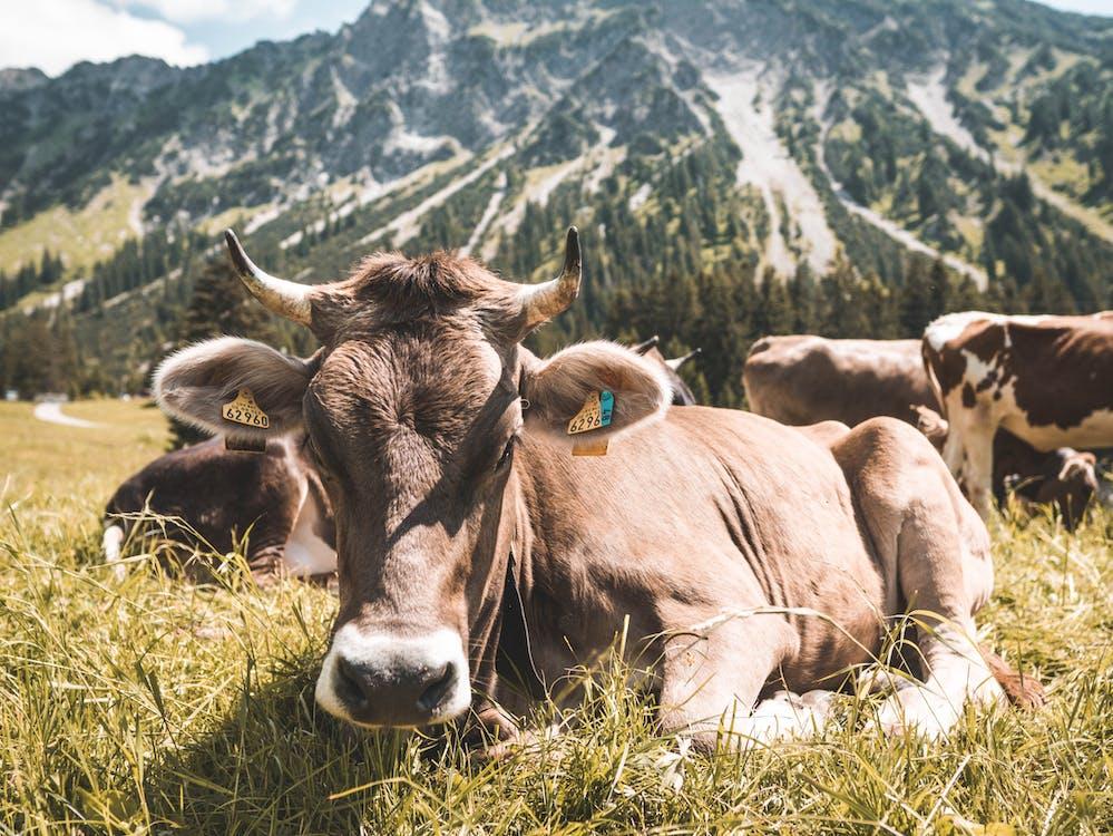 ban ngày, bầy đàn, bò cái