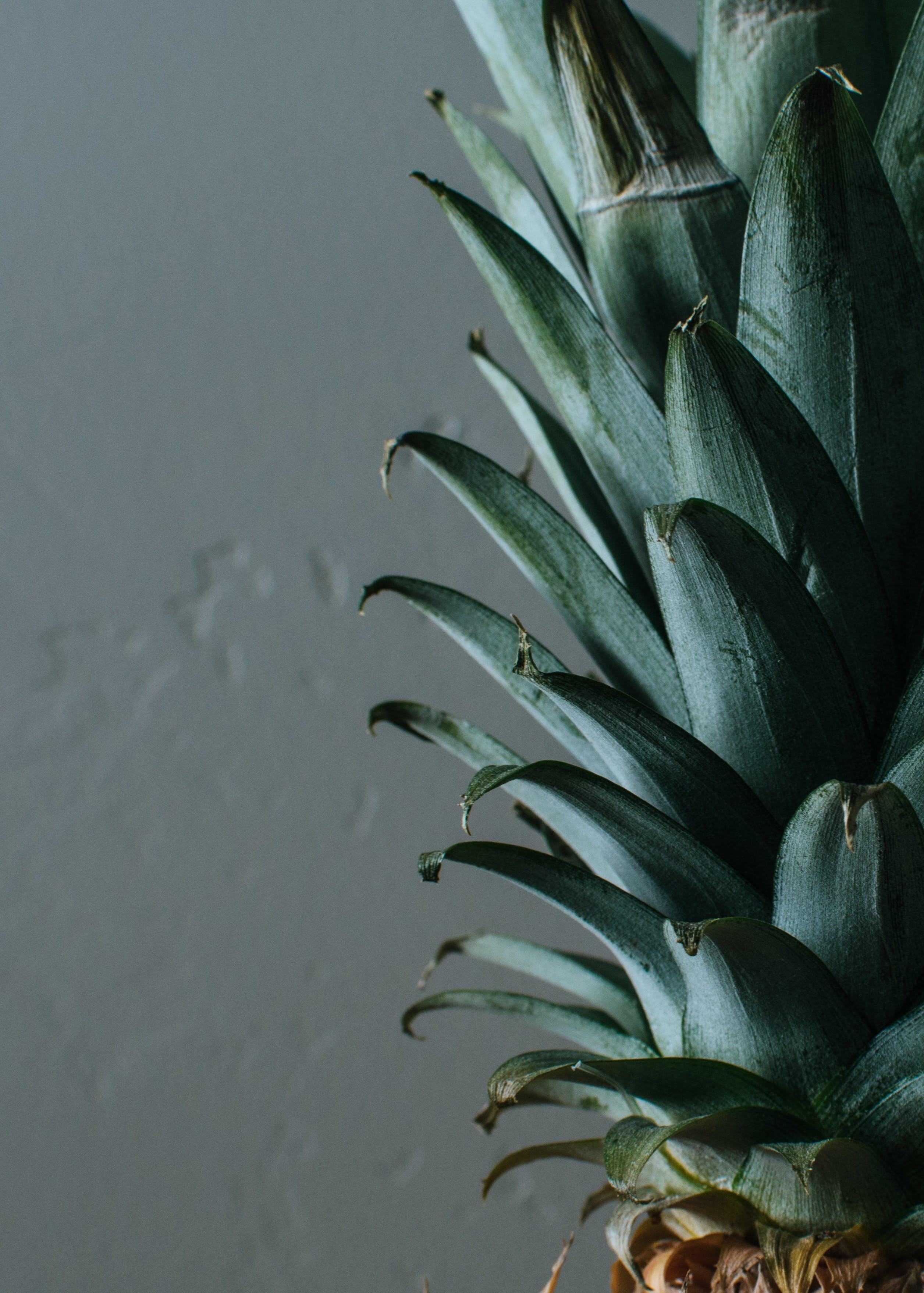 Ingyenes stockfotó agávé, ananász növény, egzotikus, elkülönített témában