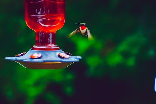 Photos gratuites de colibri, dehors, nature, rouge