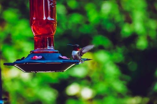Photos gratuites de colibri, dehors, faune, mangeoire à oiseaux