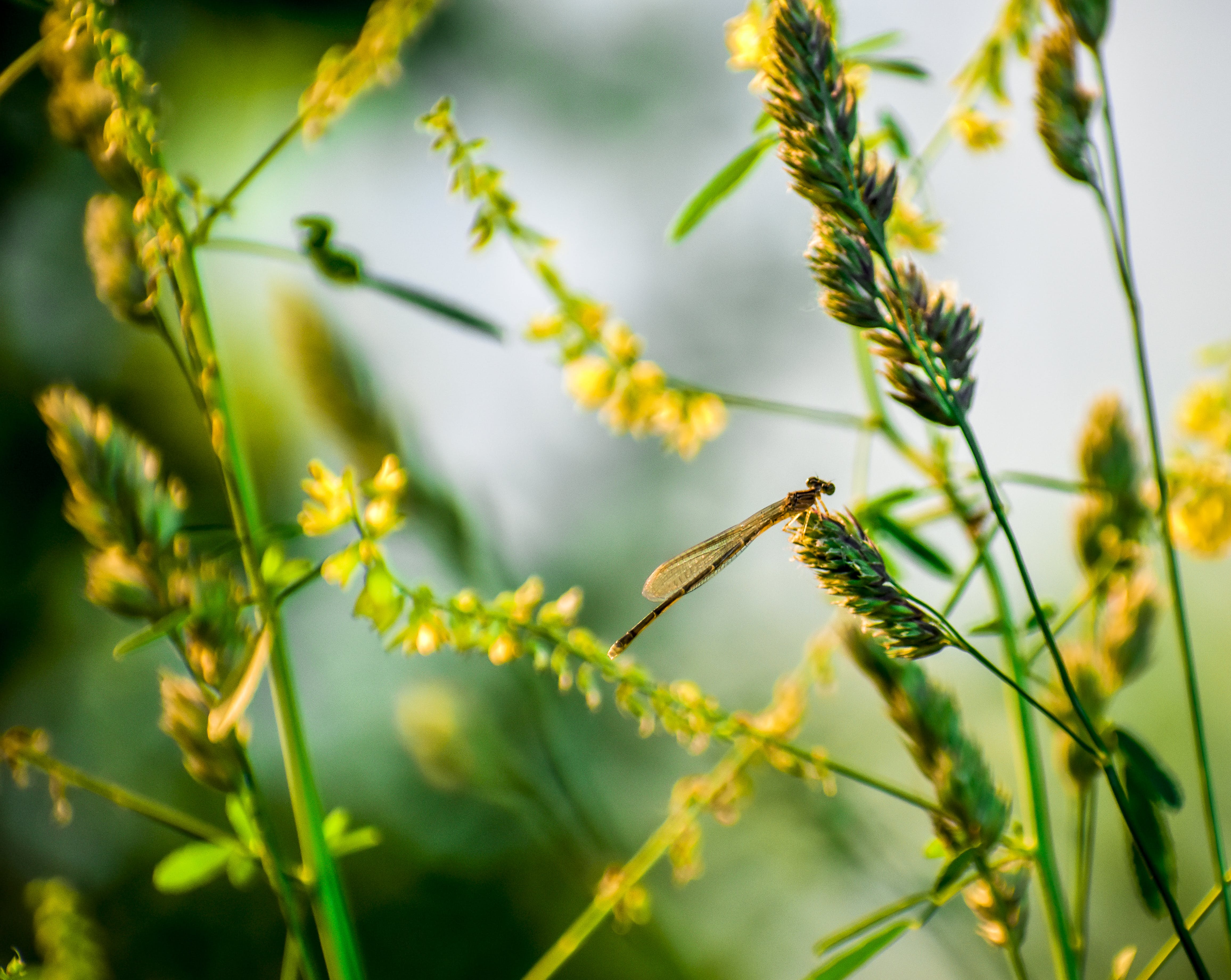 Brown Damselfly Perched on Yellow Flower in Selective Focus Photography