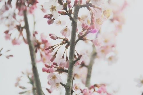 Kostnadsfri bild av blomknoppar, blomma tapeter, blommor, blomning