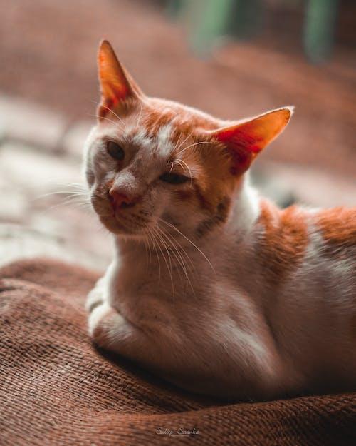 sadeep sasanka攝影, 愛貓人士, 斯里蘭卡, 貓 的 免費圖庫相片