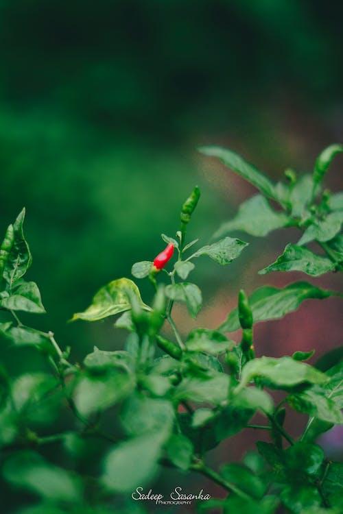 Бесплатное стоковое фото с красный перец чили, обои с видами природы, острый перец, природа