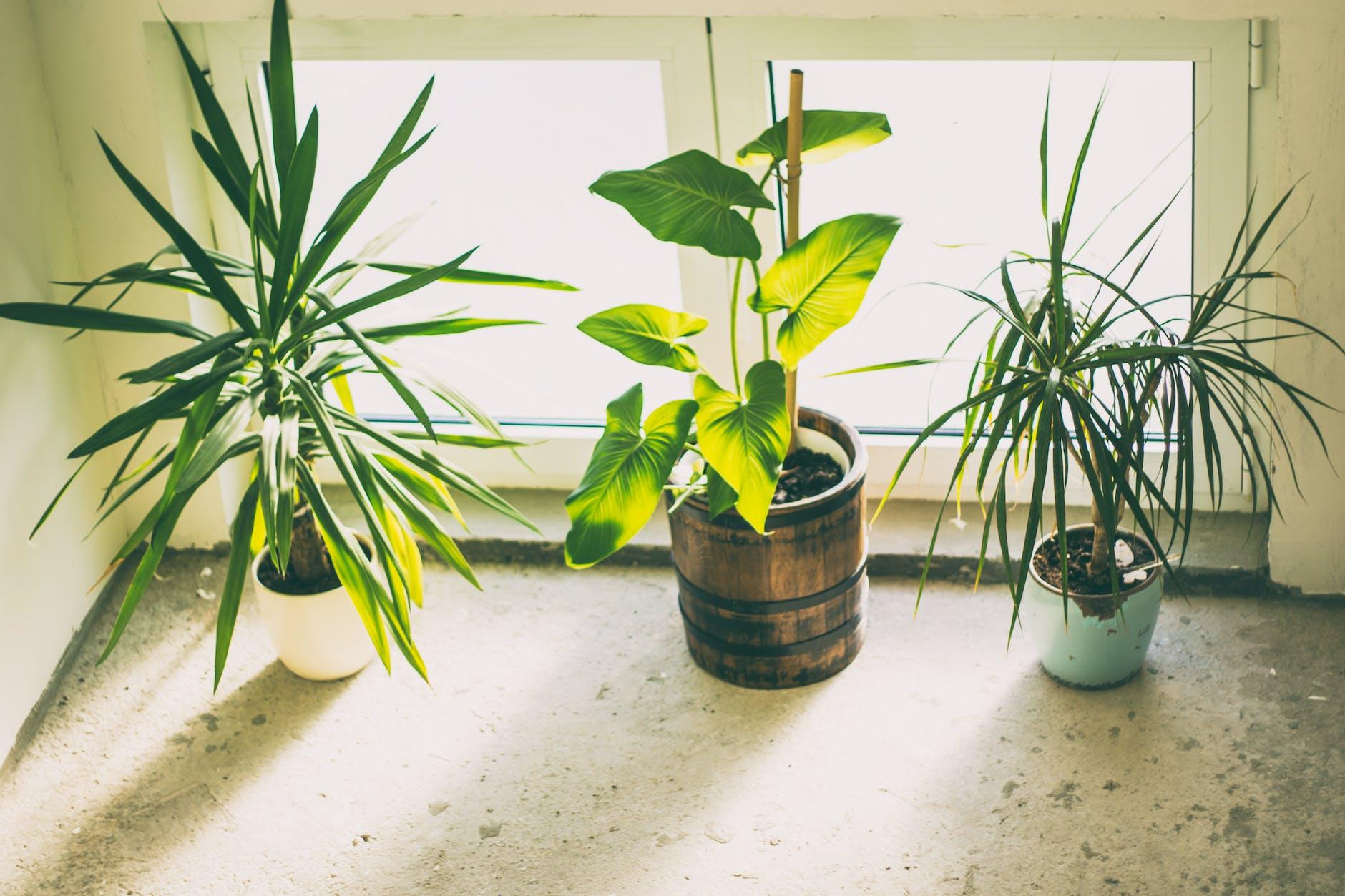 three green potted indoor plants