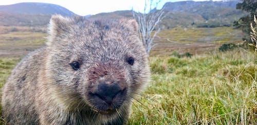 Fotos de stock gratuitas de wombat en waldheim