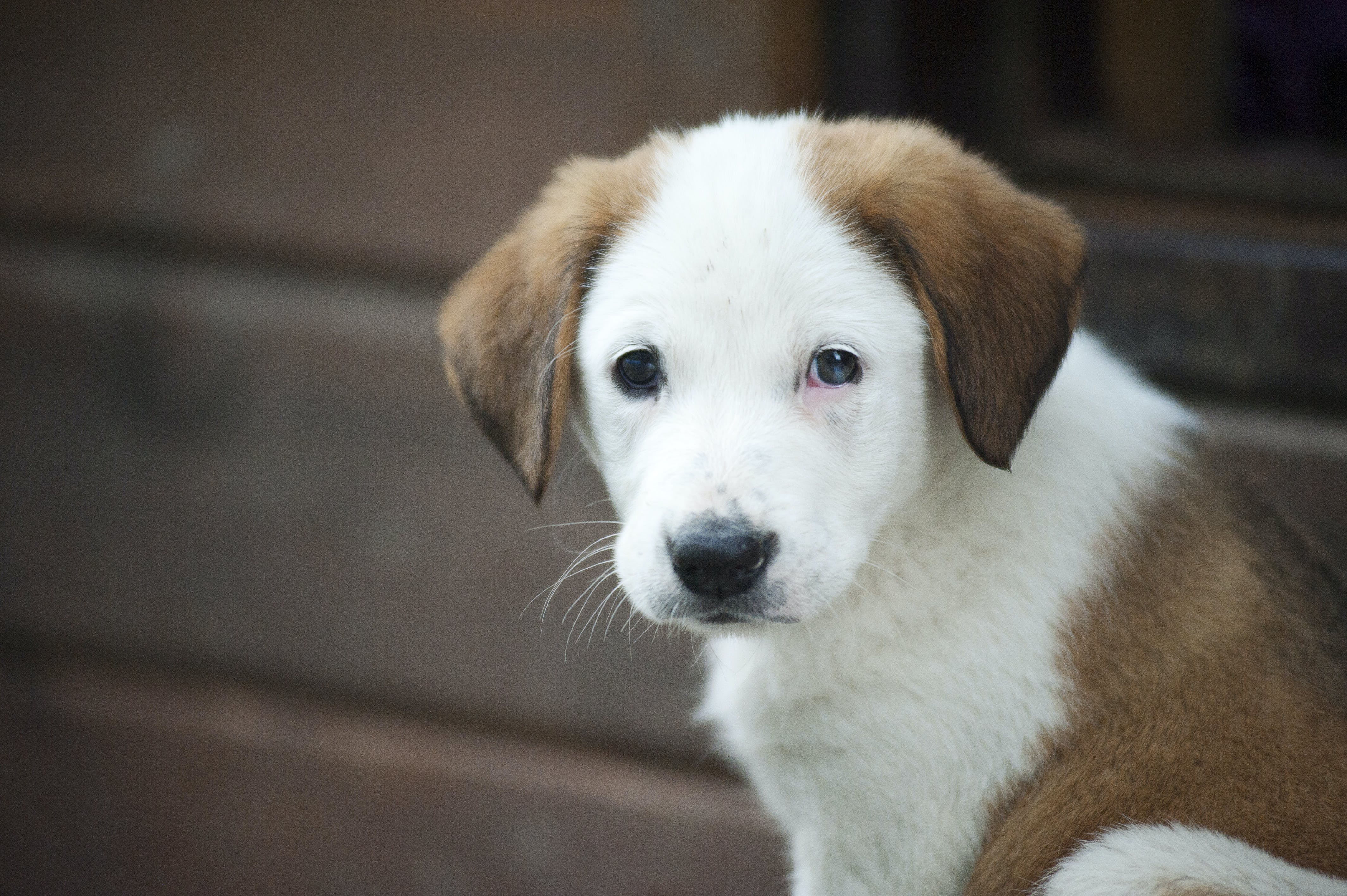 Brown and White Border Collie Mix Puppy