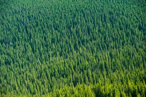 Δωρεάν στοκ φωτογραφιών με 4k ταπετσαρία, δασική έκταση, δέντρα, έλατα