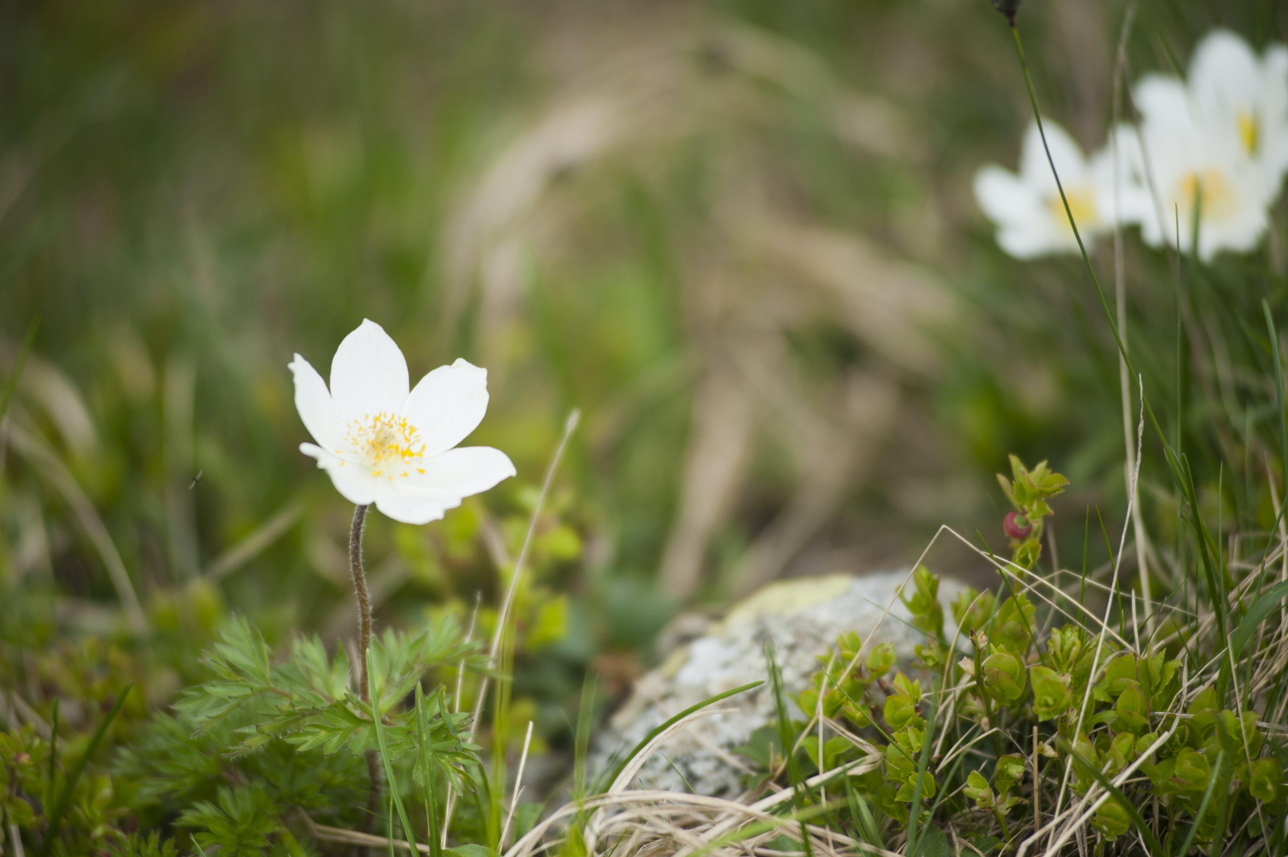 Free stock photo of beautiful, beautiful flowers, dry grass, field
