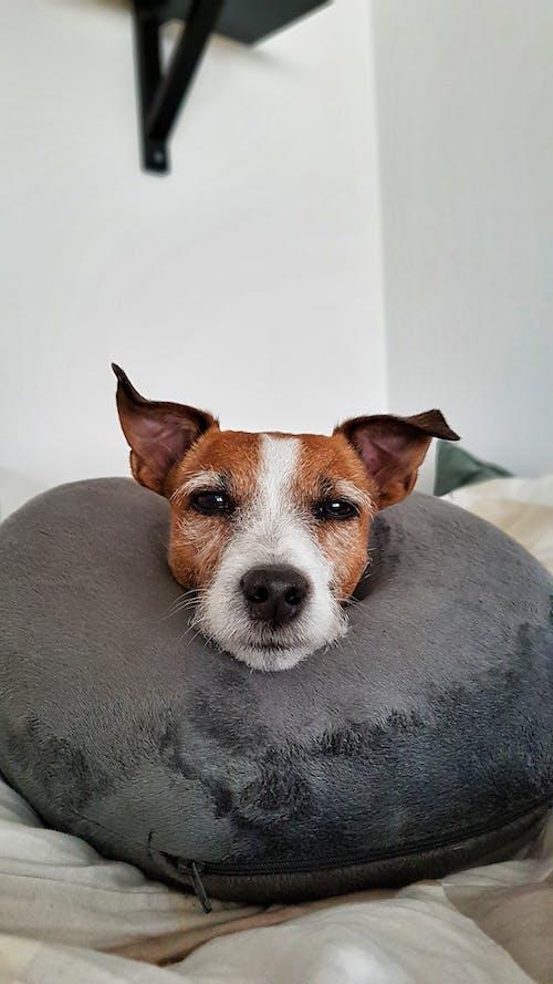Ilmainen kuvapankkikuva tunnisteilla jack russell, koira, ruskea koira, söpö