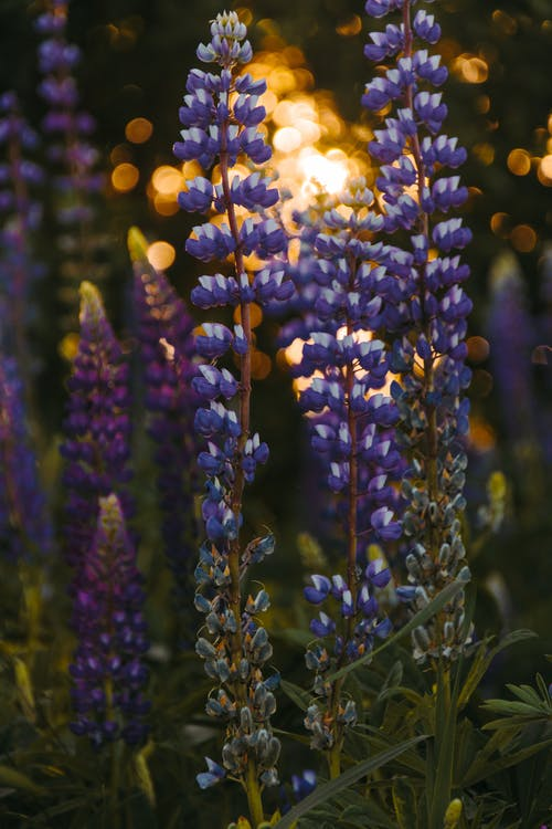 Depth of Field Photography of Grape Hyacinth