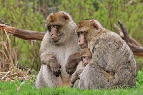 Бесплатное стоковое фото с #monkeys #family