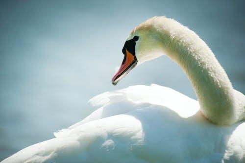 Kostnadsfri bild av djur, svan, Vit svan