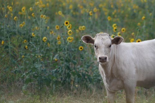 Free stock photo of country, cow, cow in a field of sunflowers, cow in field