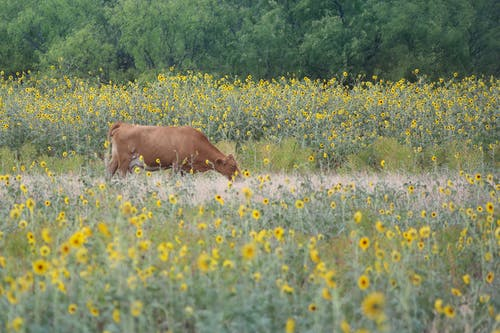 Free stock photo of brown cow, country, cow, cow eating