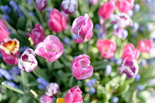Çiçekler, Hollanda, lale, laleler içeren Ücretsiz stok fotoğraf